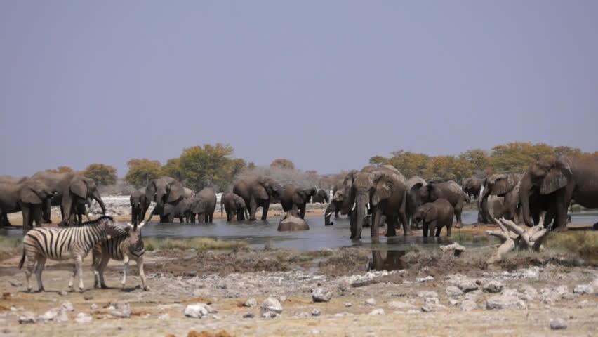 Elephants at waterhole - Etosha National Park - Wildlife from Namibia - HD stock footage clip
