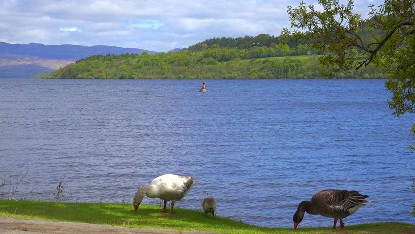 LOCH LOMAND, SCOTLAND - CIRCA 2015 - Ducks wander on the shore of Loch Lomand, Scotland. | Shutterstock HD Video #13072586