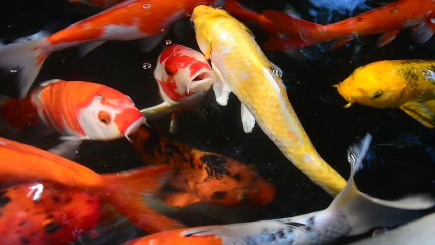 Fresh vegetables falling with water on black background in for Koi fish to pond ratio