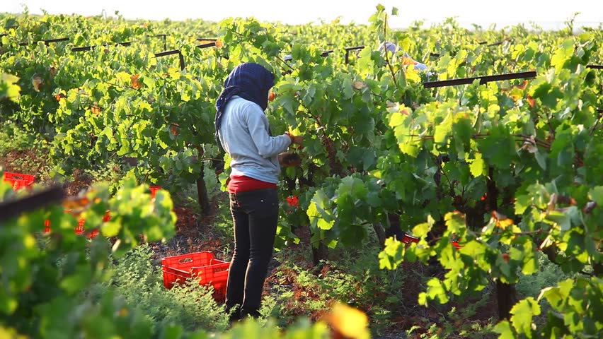 Zichron Yaakov Israel  city images : ZICHRON YAAKOV, ISRAEL AUGUST 24: Vintager harvests Cabernet ...