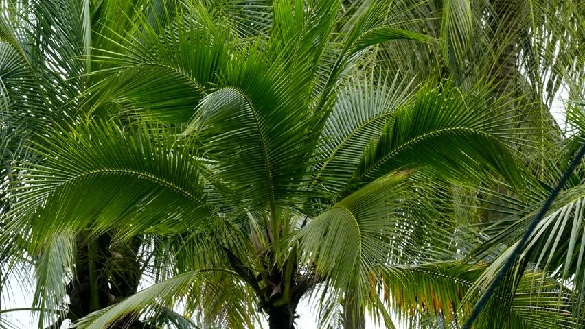 Sweet Coconut tree   Shutterstock HD Video #13302041