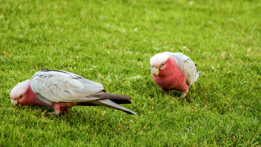 male and female pink cockatoos