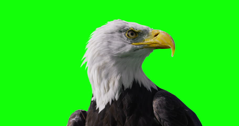4K Close up of American Bald Eagle against green screen background. Shot on RED Epic.