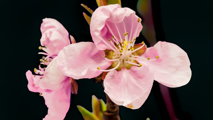 Isolated timelapse of an peach flower growing, encoded with photo png, transparent background/Peach flower cut out timelapse #13472015
