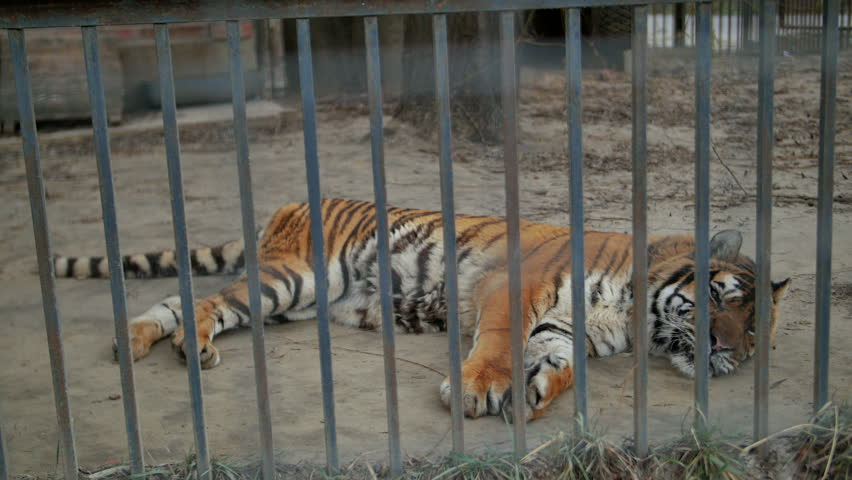 Tiger in cage stock footage video 3789695 shutterstock - Tiger in cage images ...