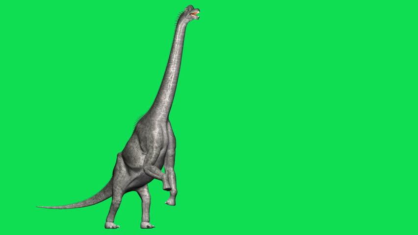 Brachiosaurus Dinosaur full body view reaching, walking. Closeup headshot tracking. HD green screen animation.