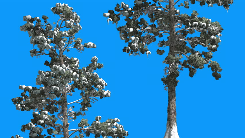 Eastern White Pine , Pinus strobus, Snow on a Branches on Blue Screen, Two Thin Trees on Chroma Key, Alfa, Tree is Swaying on the Wind, Evergreen Tree, Green Needle-Like Leaves at Daytime in Winter, #13562384