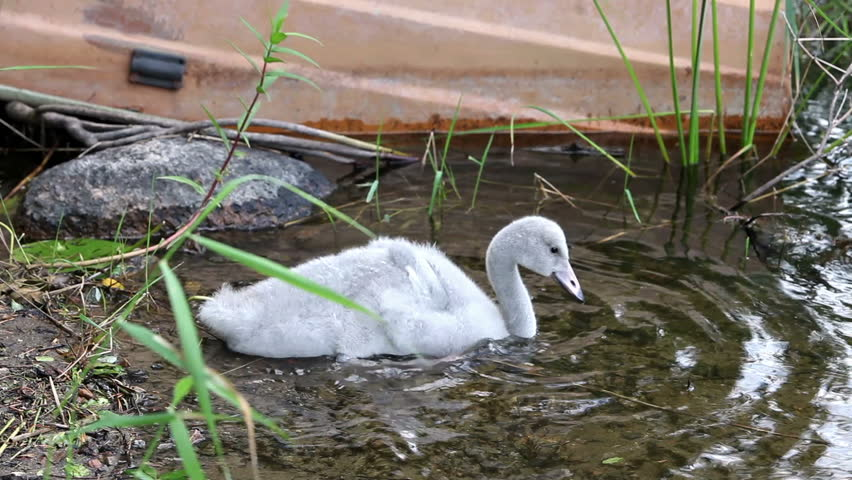 Baby bird of a swan in the lake - HD stock footage clip