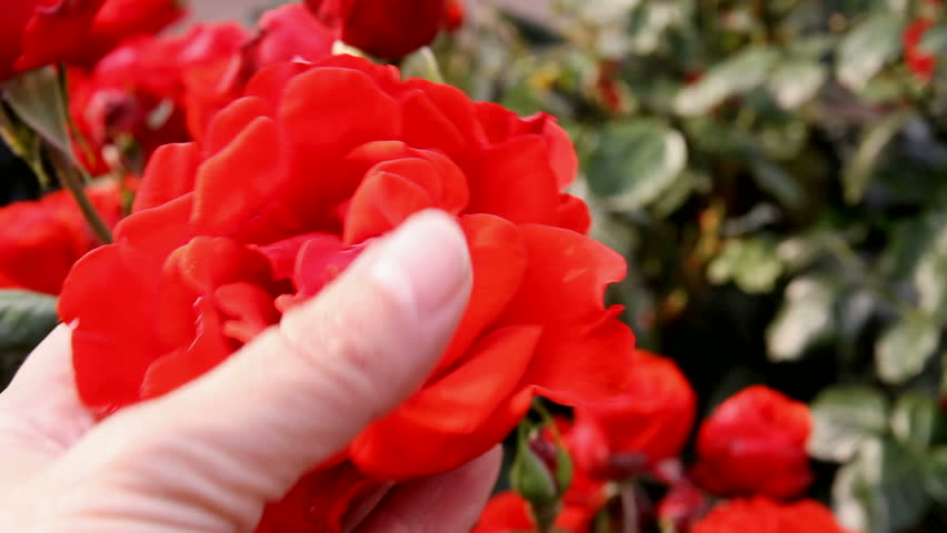 Red rose. Hand girl stroking a rose. Delicate flowers outdoors. Admiring flowers. Romance and inspiration. Aroma. Care of flowers in the garden. Home garden. Gardener cares for flowers. #13667324