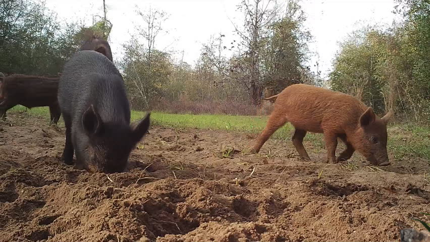 Wild Boar (Sus scrofa) or wild pigs, leaving Georgia swamp to raid farmer's corn field. Field being damaged by sow and piglets rooting.  Destructive species which damages agricultural crops. Georgia. - HD stock footage clip