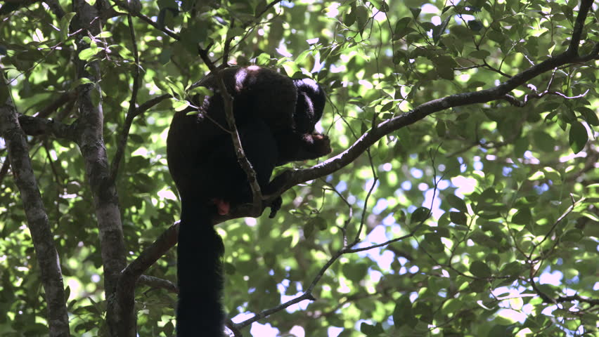Beardy Monkey: Bearded Monkey Climbs Down Tree To Collect Food From The