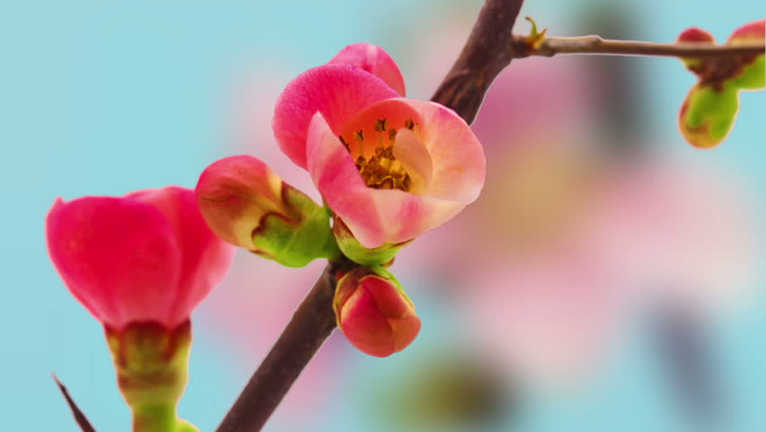 Japanese flowering crab-apple blossoming composition/Timelapse video of a Japanese crab-apple blossoming against a light blue background with a peach flower blossoming in the background #13707968