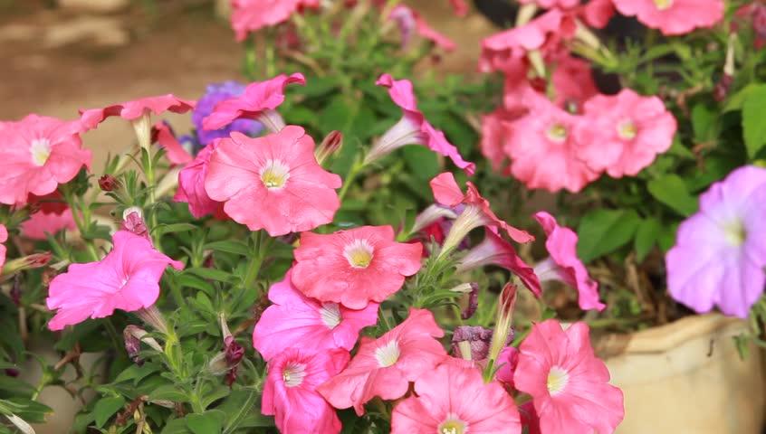 petunias flower - HD stock footage clip
