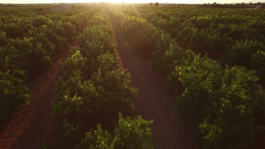 Aerial view of orange tree field at sunset