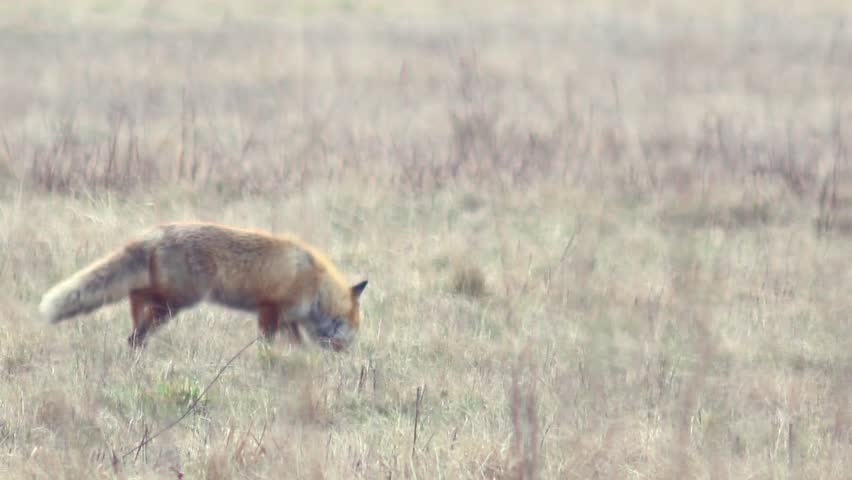 Beautiful fox in the wilderness in Full HD. Fox looking for food. Wild life of Europe. | Shutterstock HD Video #13841429