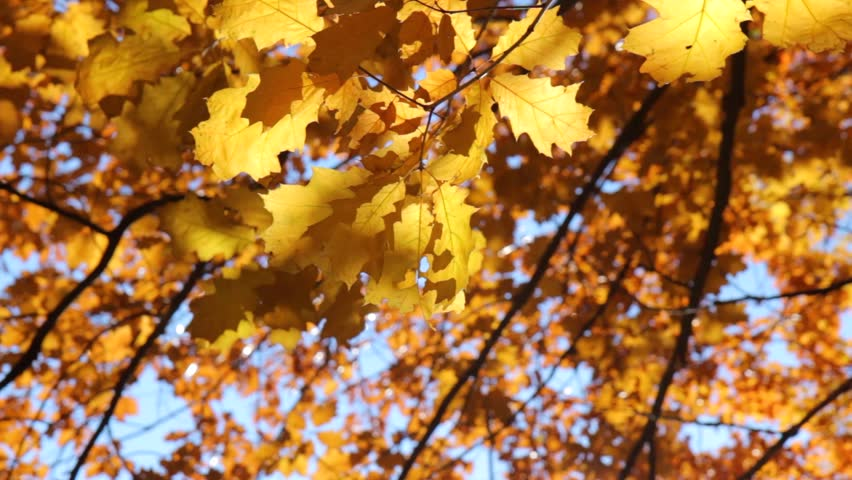 Autumn leaves. Autumn. Leaves. Yellow leaves and sunlight. Autumn sunlight.  - HD stock footage clip