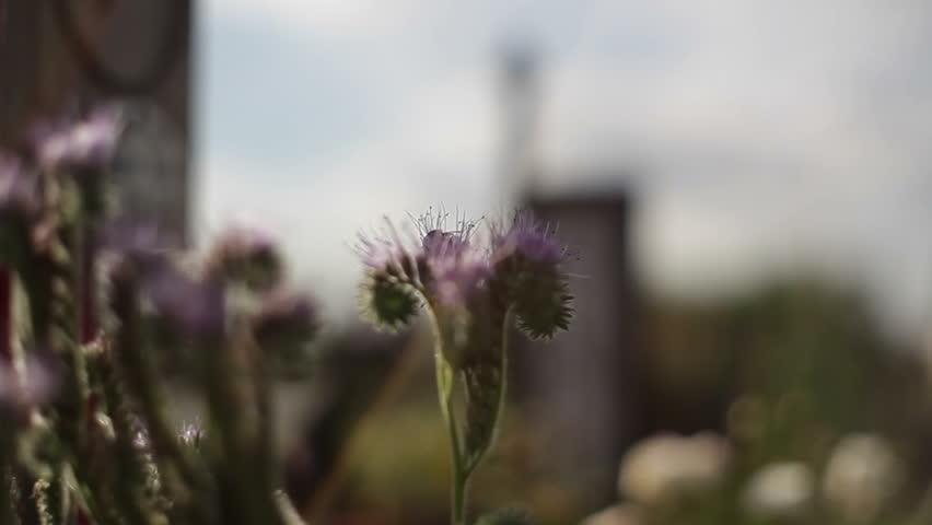 Bumble bee pollinates purple lavender flowers, shallow DOF | Shutterstock HD Video #13912637
