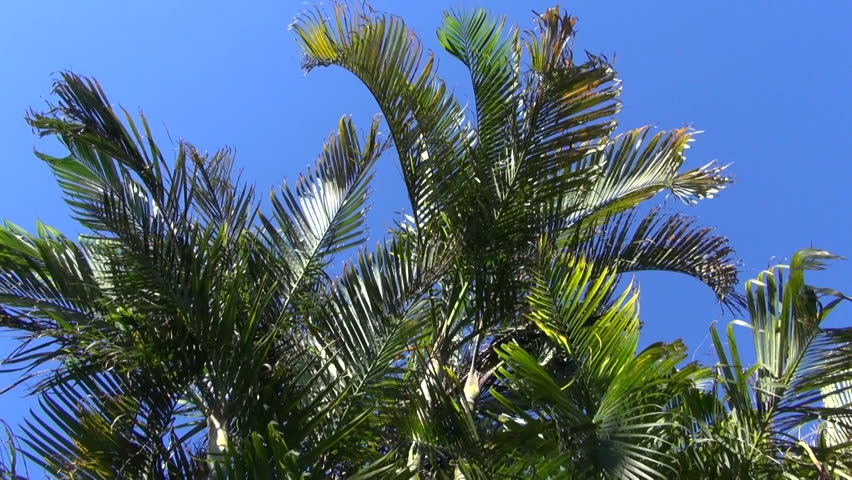 Tuft of Dypsis lutescens palm trees growing in the park on sunny day - HD stock video clip