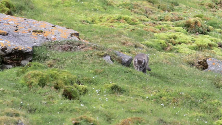 Arctic fox Arctic fox in Spitsbergen Norway Mountain  - HD stock footage clip