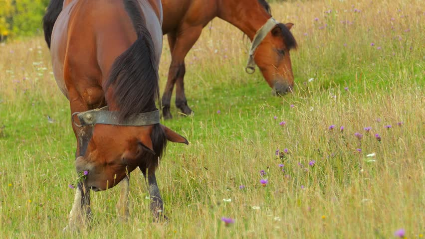 A herd of horses grazing on mountain pasture - 4K stock video clip