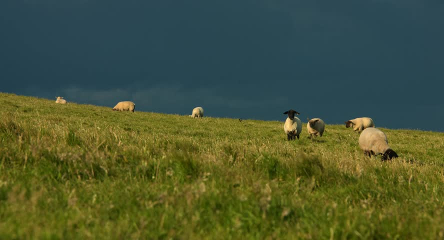 The sheep are feeding on grass on a windy meadow in beautiful evening light in ireland, July 2015, Stock Footage, photo,  4K, Raw, | Shutterstock HD Video #14135243