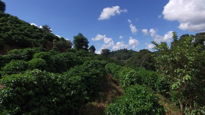 Coffee plantation in sunny day in Brazil. Coffee plant.