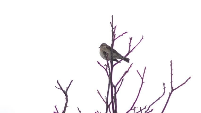 Bird on a tree in winter/Fieldfare winter bird sitting on a tree | Shutterstock HD Video #14177984