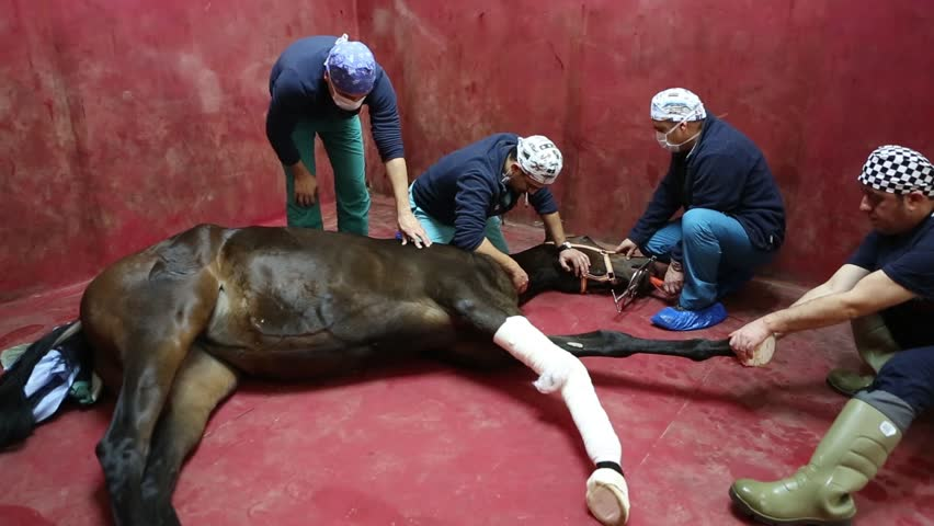 ISTANBUL, TURKEY - MAY 12:A horse is being prepared by nurces for an operation in a veterinary clinic on May 12, 2014 in Istanbul, Turkey.