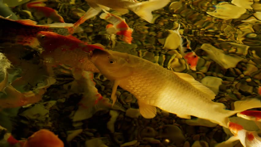 Mirror carp definition meaning for What does carp mean