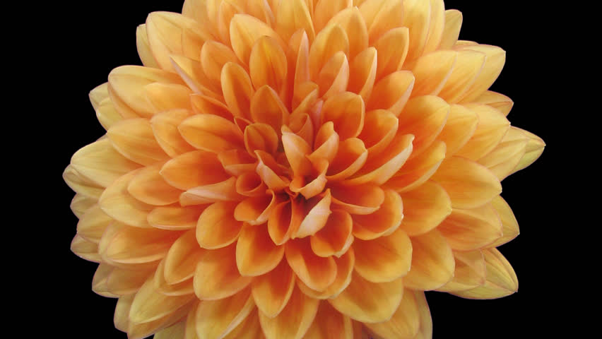 Time-lapse of dying orange dahlia (georgine) flower 10b1 in PNG+ format with ALPHA transparency channel isolated on black background
