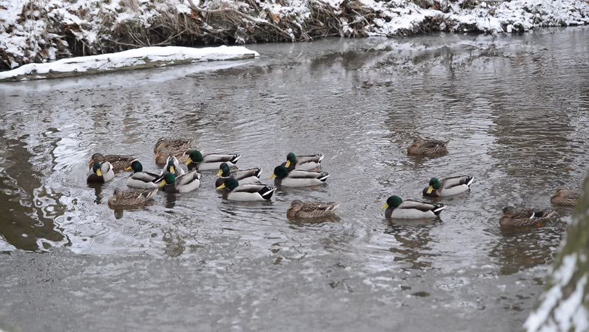 ducks on the river in the winter, telephoto lens,real time, - HD stock footage clip
