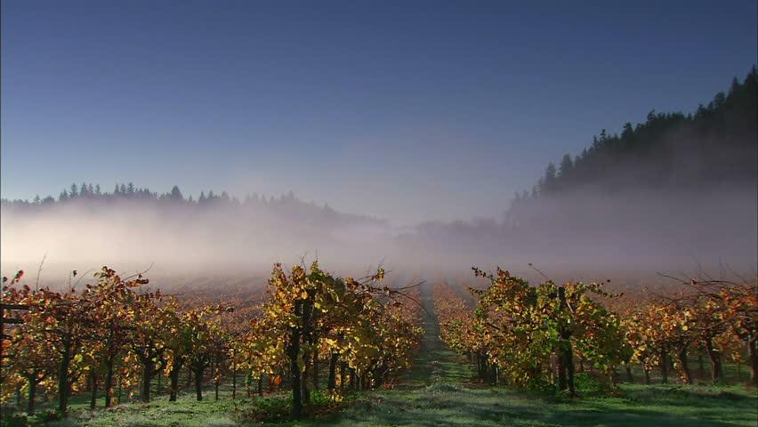 Morning Fog Sweeping Across A Vineyard In Autumn