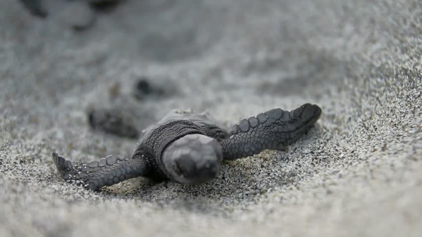 Baby turtle coming out from sand