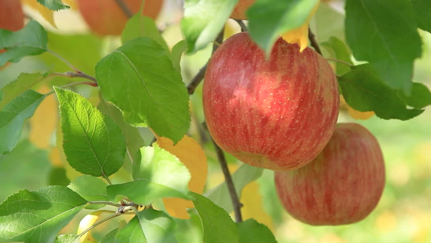 Apple trees with red apples.