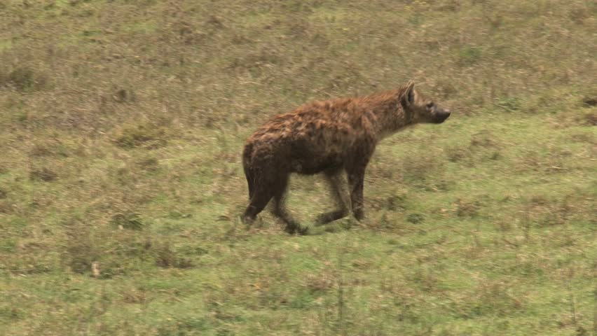 Hyena Offspring Spotted Hyena Stock Fo...
