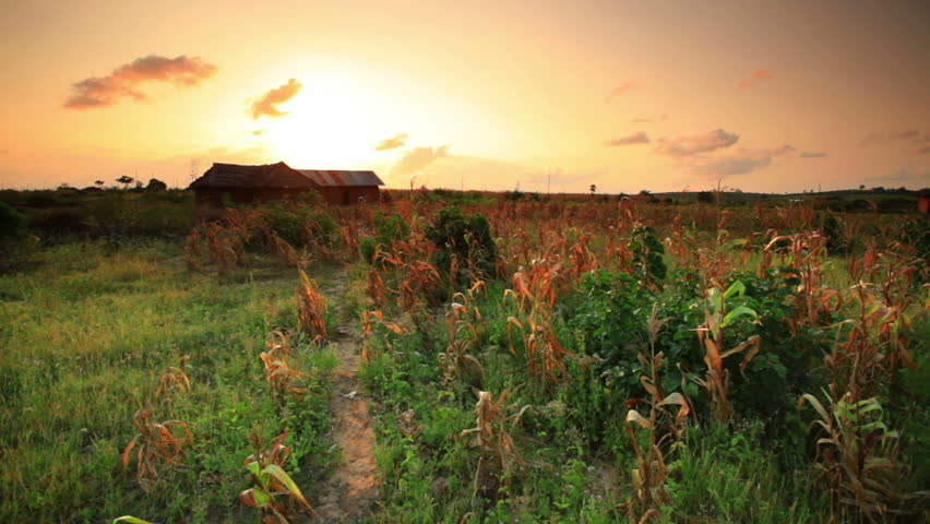 A cornfield at sunset near a village in Kenya two hours north of the African city Mombassa.