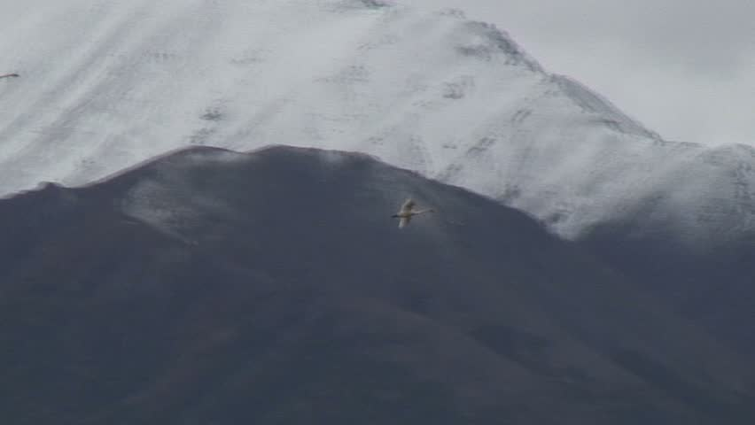 Middle Range Shot Of Two Geese Flying Above Tundra - HD stock video clip