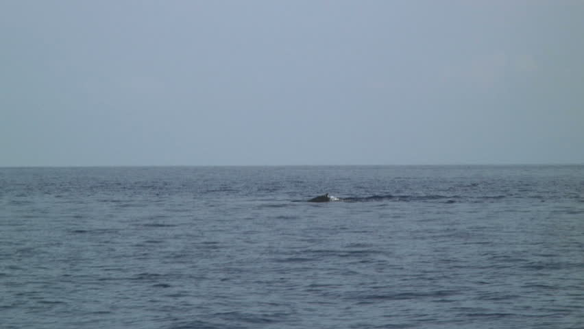 Whale Dorsal and Spout - HD stock video clip