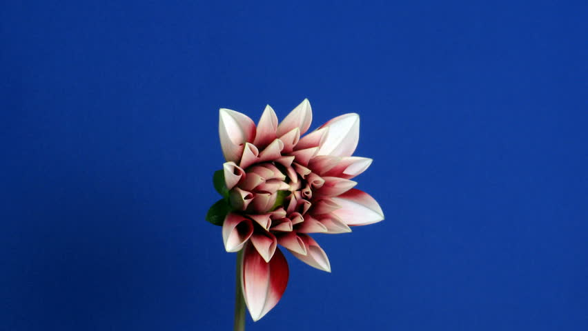 Time-lapse of blooming red dahlia 1