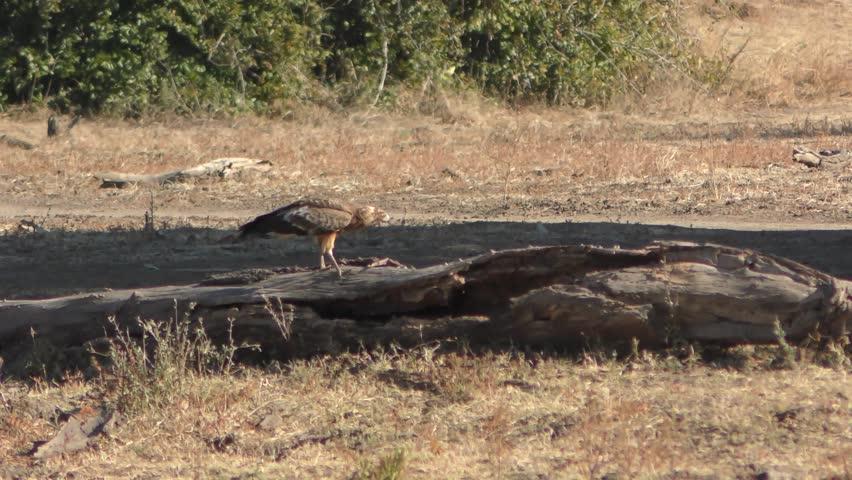 Header of African harrier-hawk