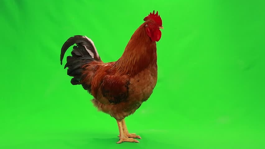 rooster animation stock footage video 20587783 shutterstock