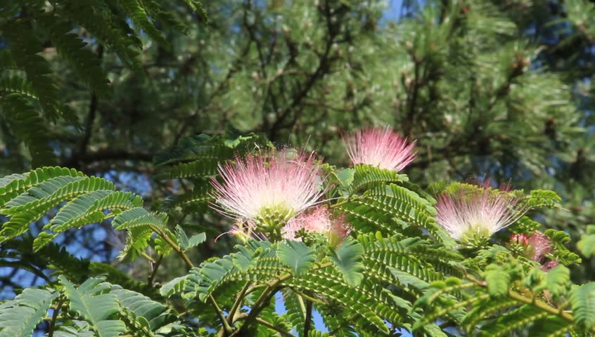Header of Albizia Julibrissin