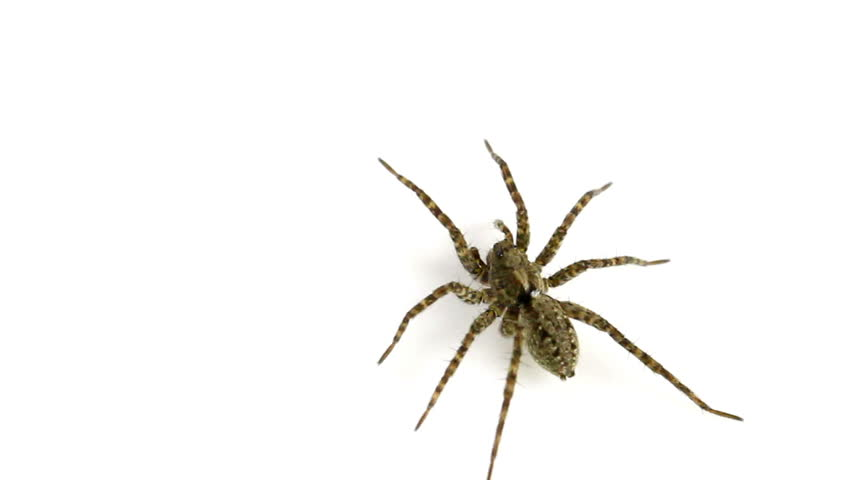 Female Pardosa amentata (Spotted Wolf-Spider) on a white background. This spider is part of the family Lycosidae - Wolf spiders. - HD stock footage clip