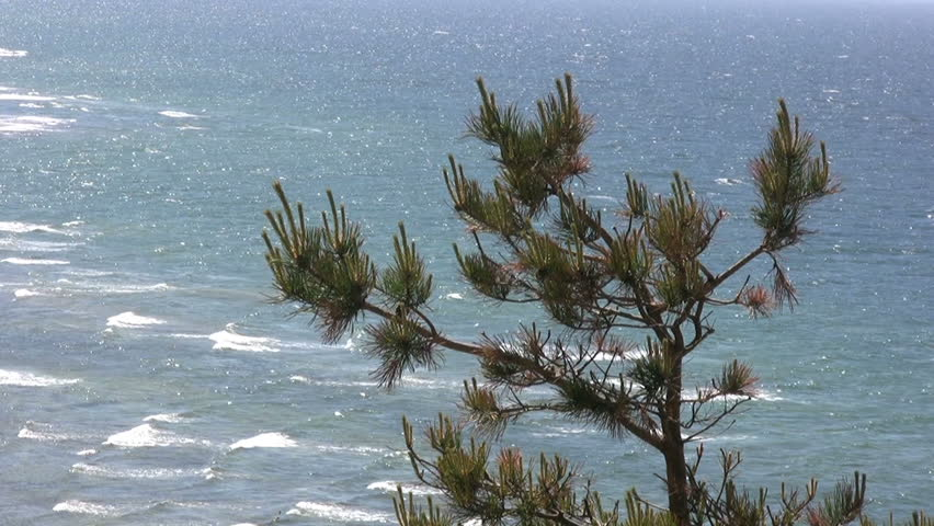 Pine tree with ocean in the background - HD stock video clip