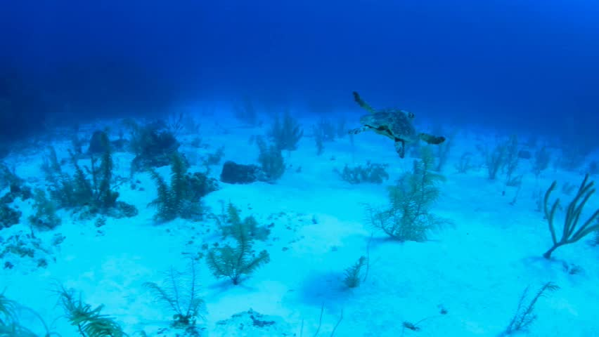A turtle swimming near the reef in Cayman Brac