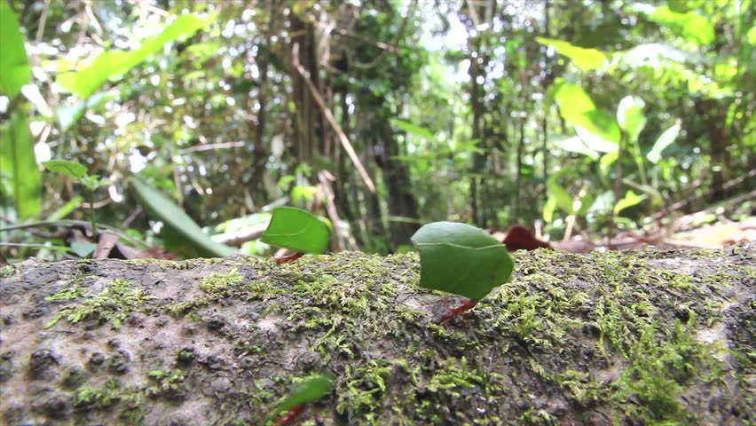Leaf cutter ants march along a fallen log while carrying their cut leaves (in the Peruvian Amazon)