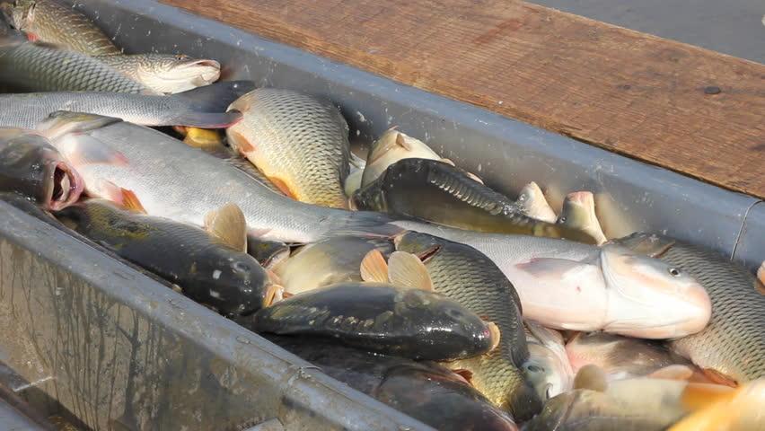 Freshwater carp - photo#6