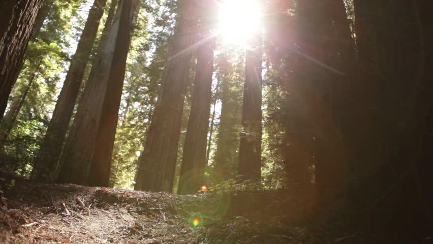 Sun breaking through pine trees