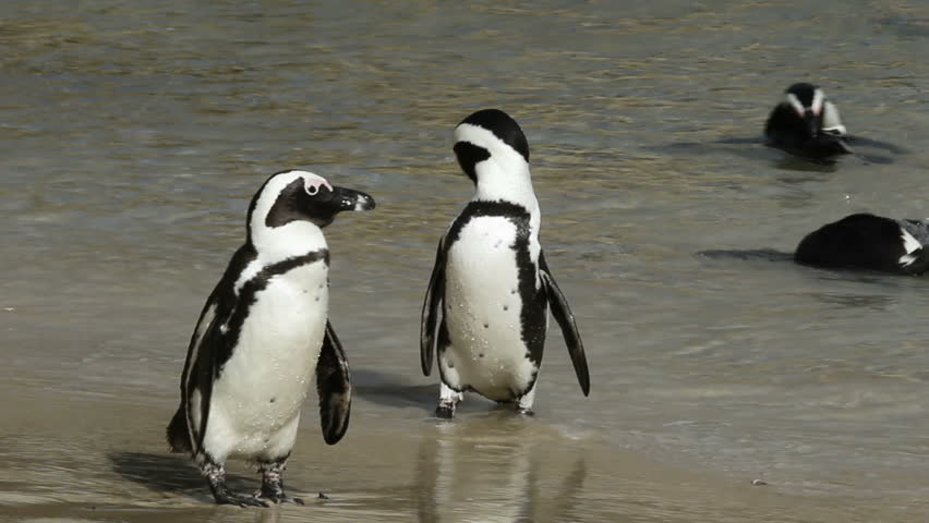 African penguins (Spheniscus demersus) on the beach, Western Cape, South Africa  - HD stock video clip