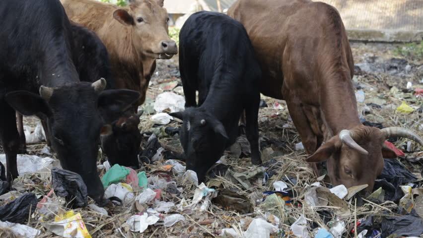 Cow eat Rubbish. - HD stock video clip